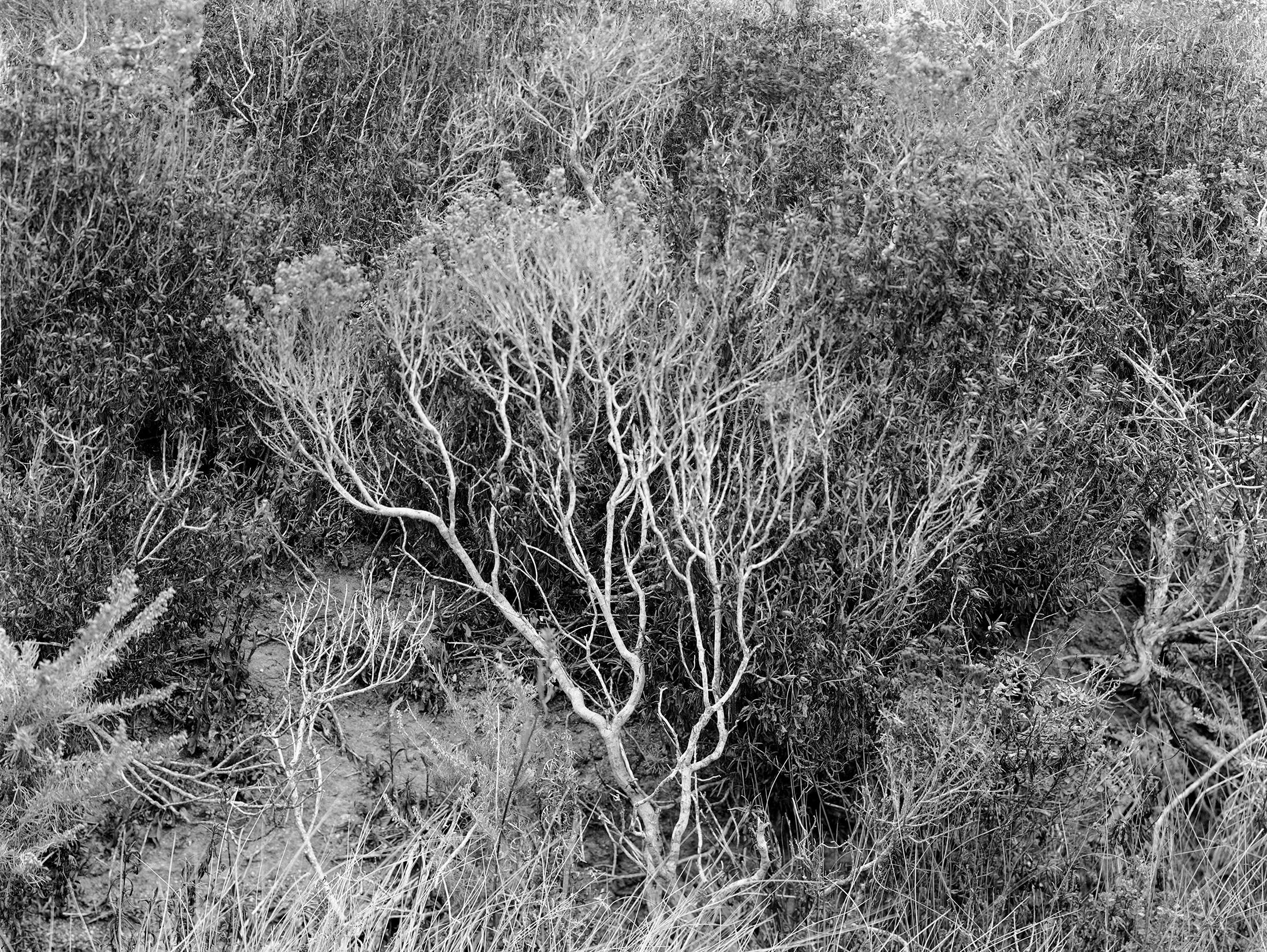 Branches, Pt. Lobos