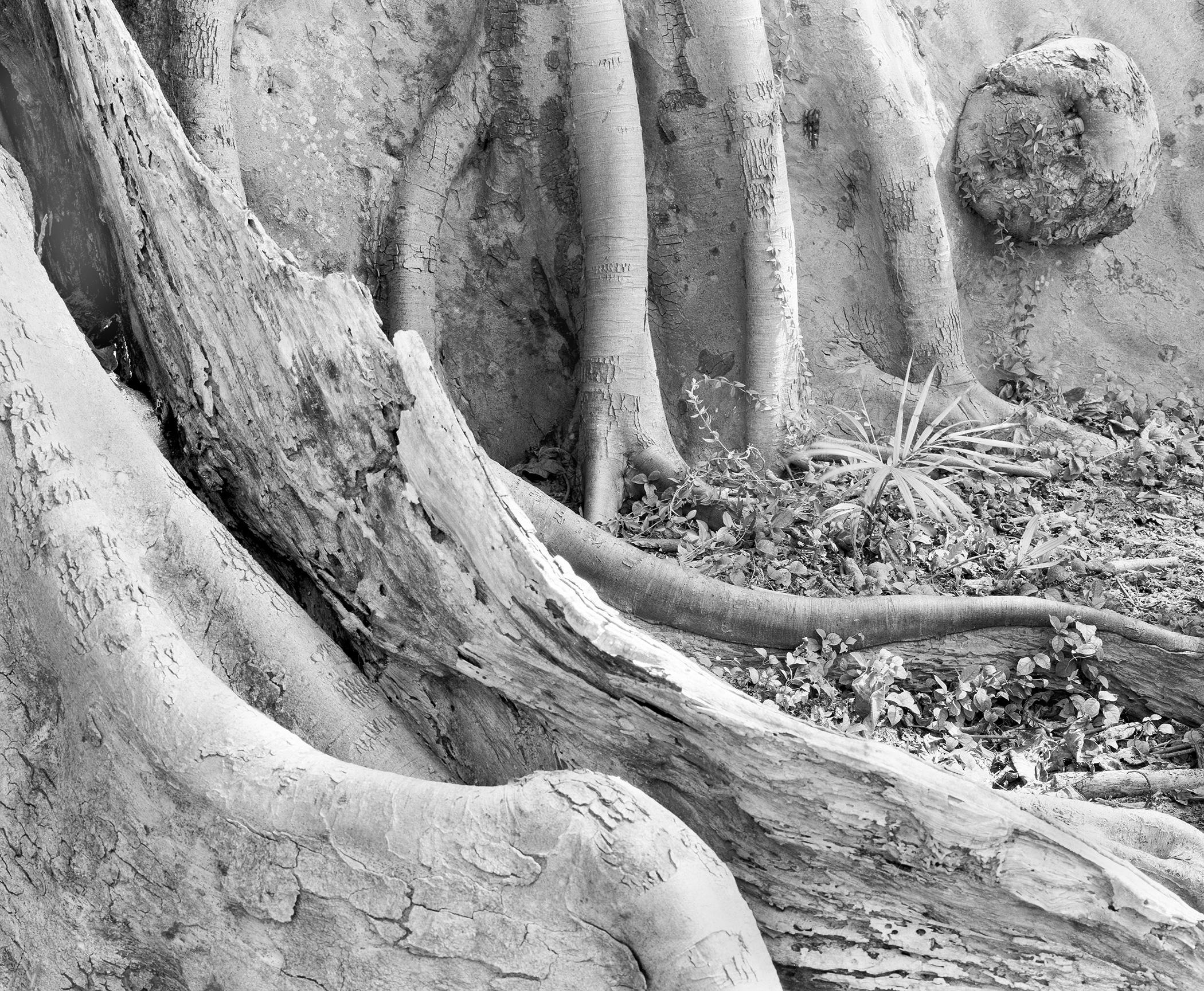 Banyan#2