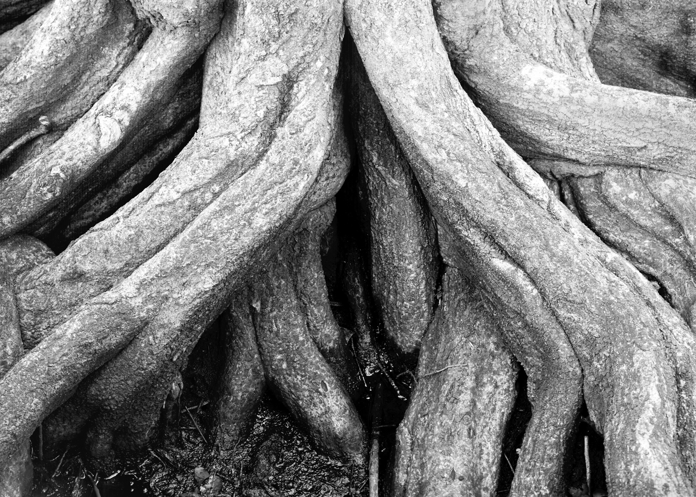 Cypress Root Detail