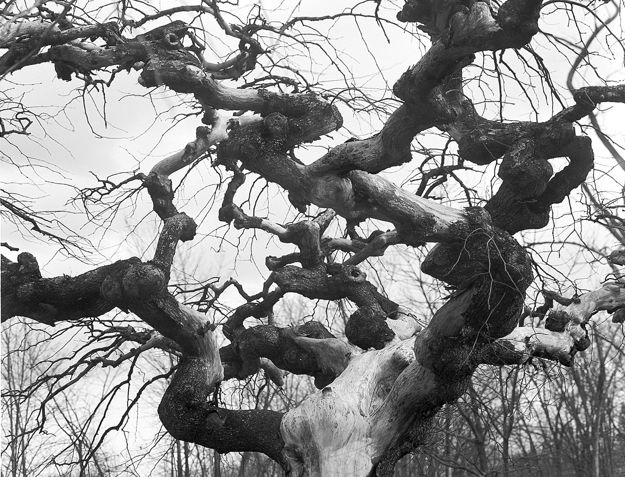 Tree, Kennebunk