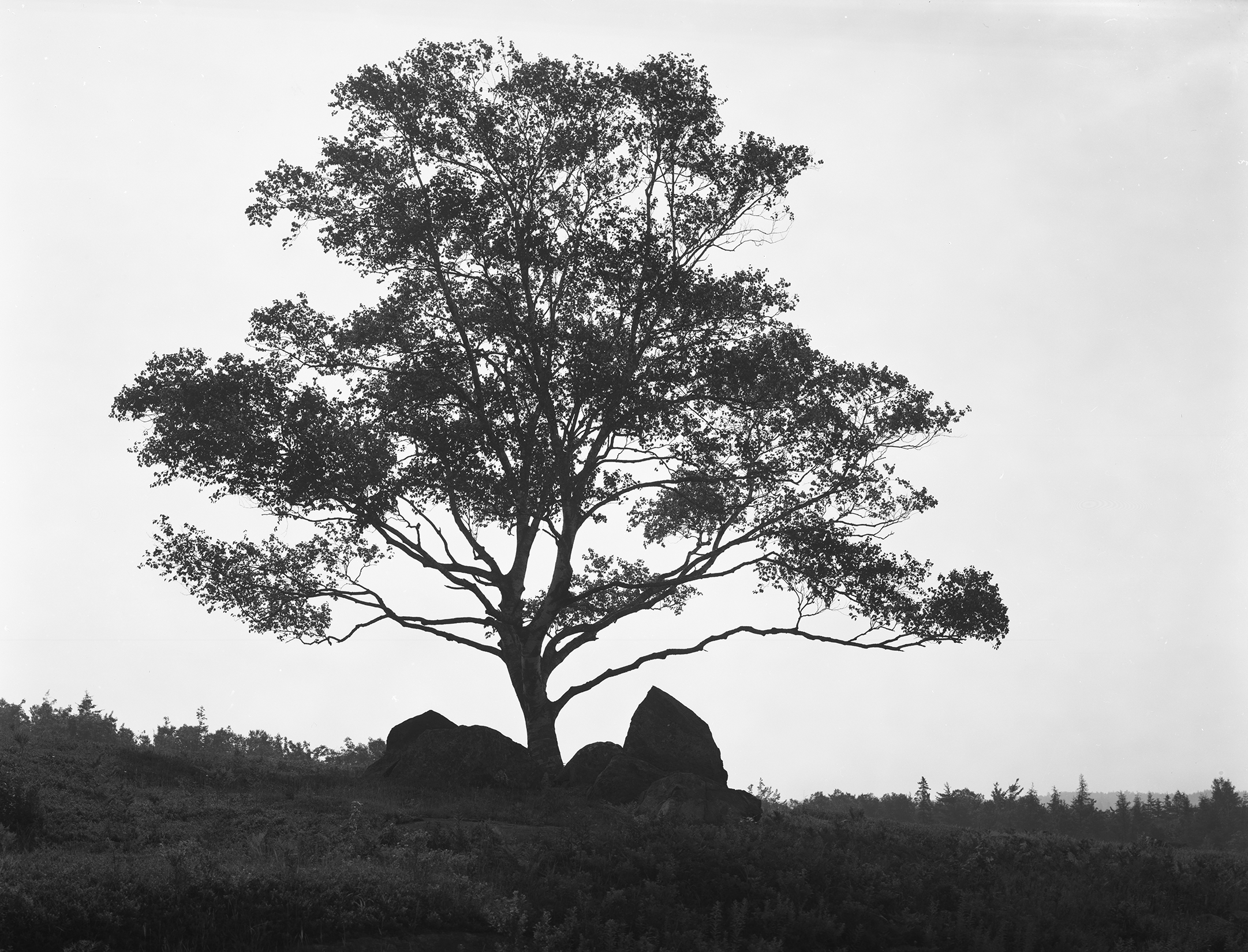 Tree at Sunrise, Brooksville