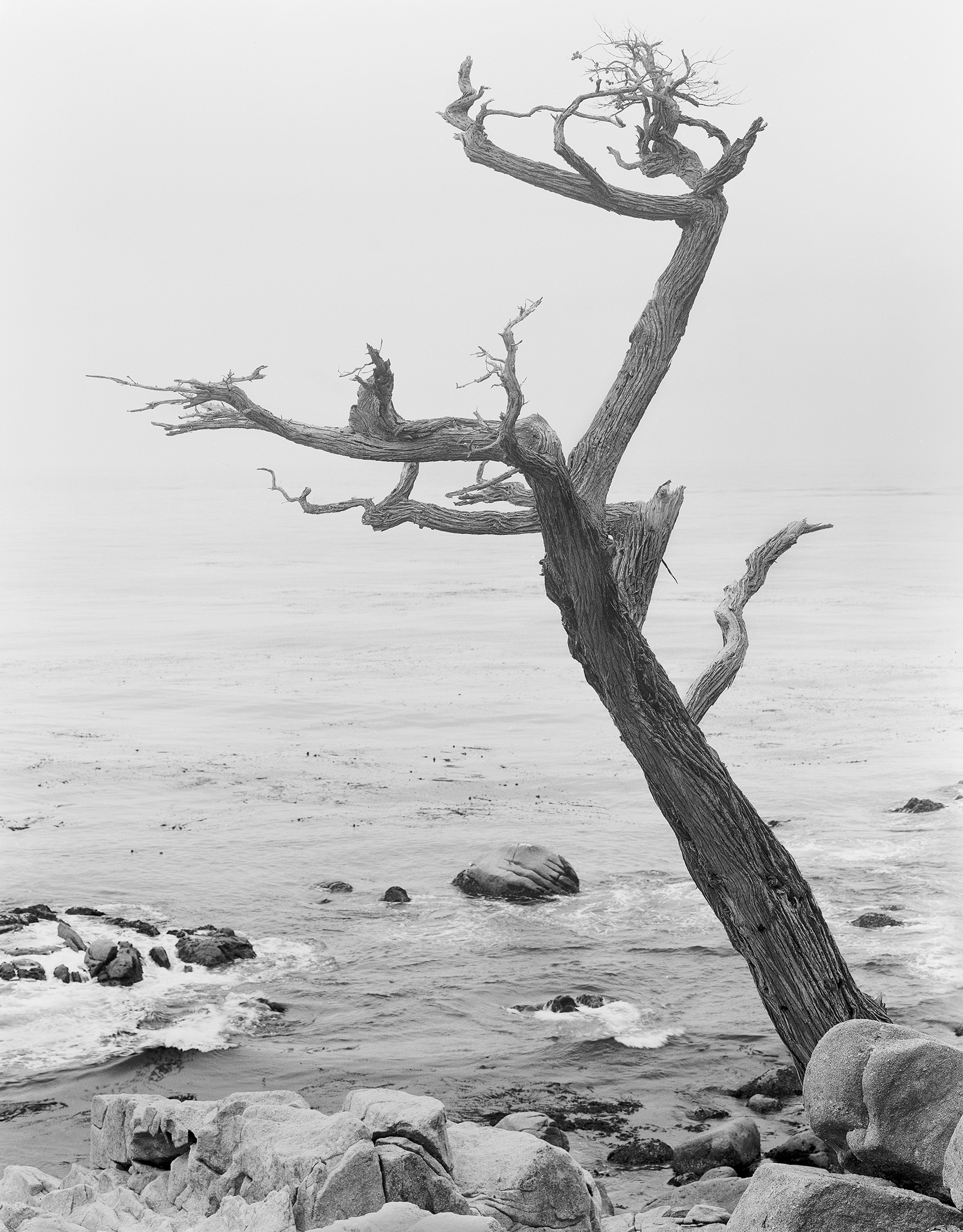 Witch Tree, Pt. Lobos