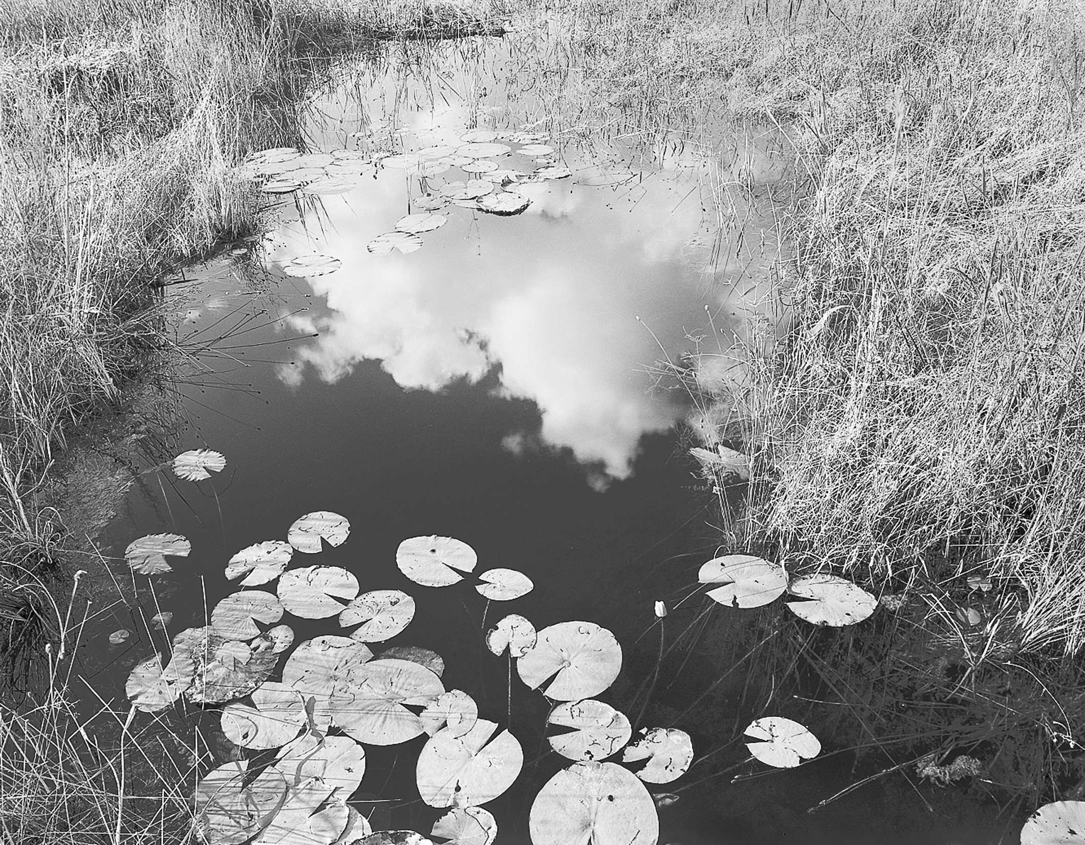 Lillies and Clouds, Grassy Waters Preserve