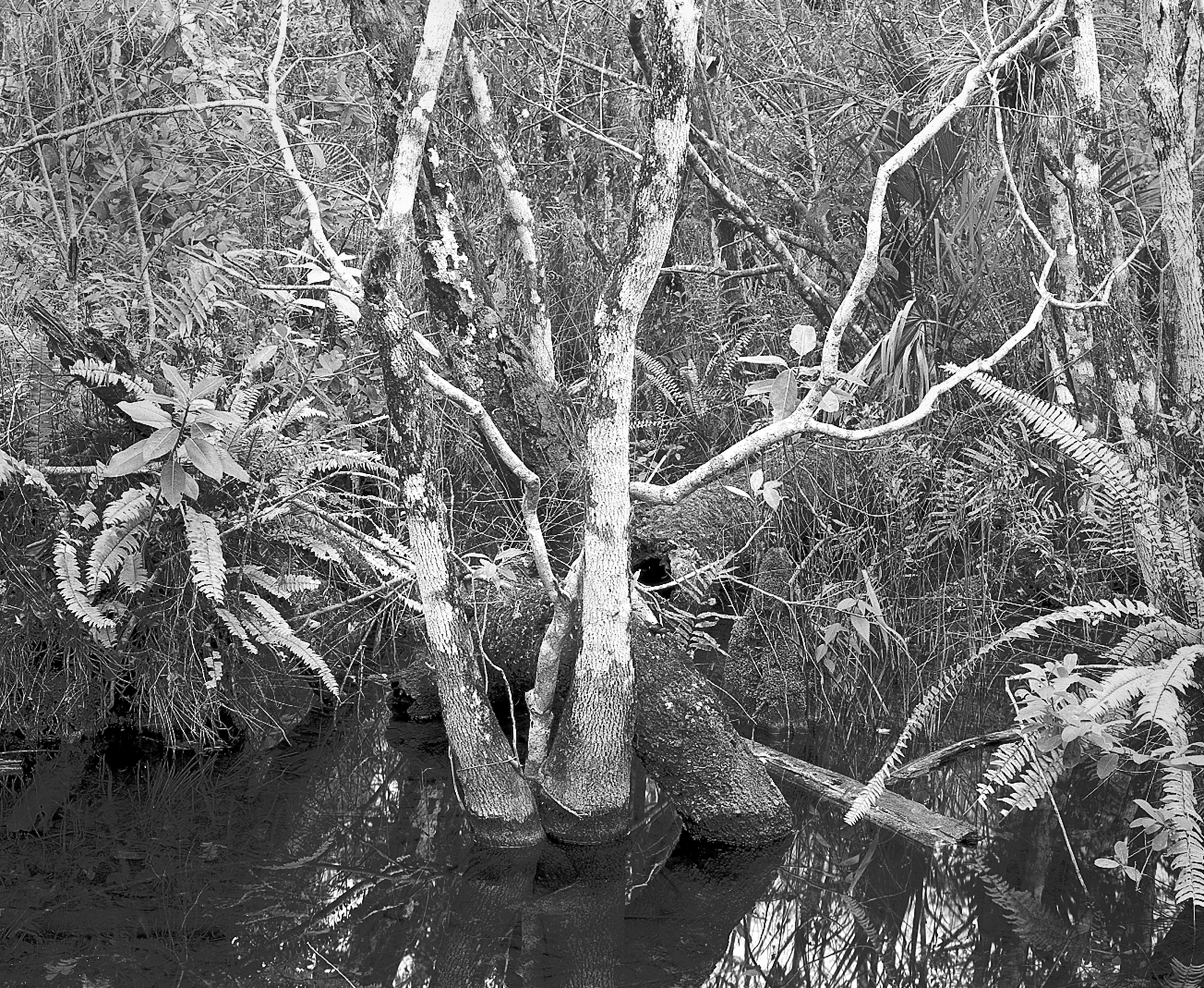 Trees and Ferns, Loxahatchee