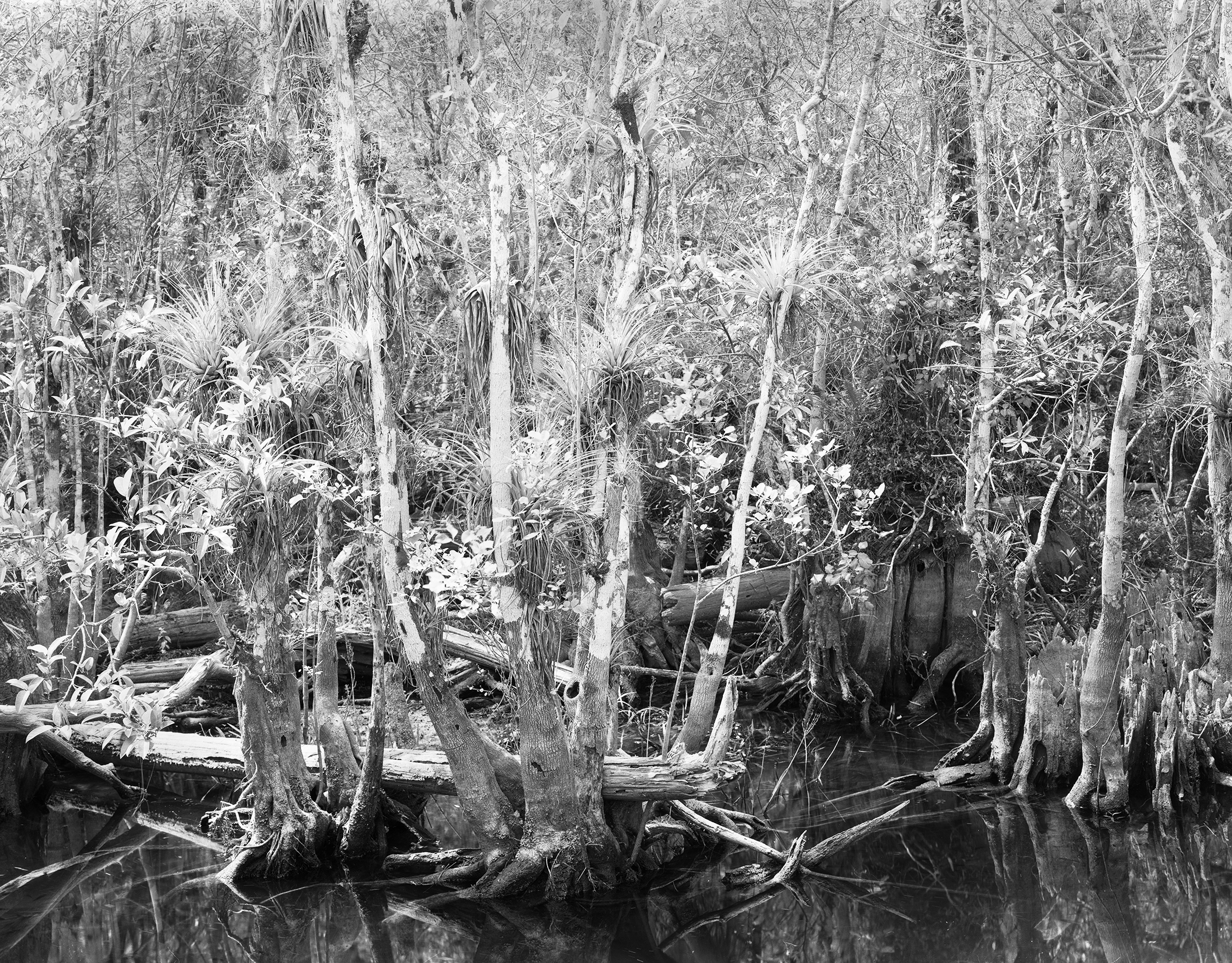 Trees and Airplants, Big Cypress