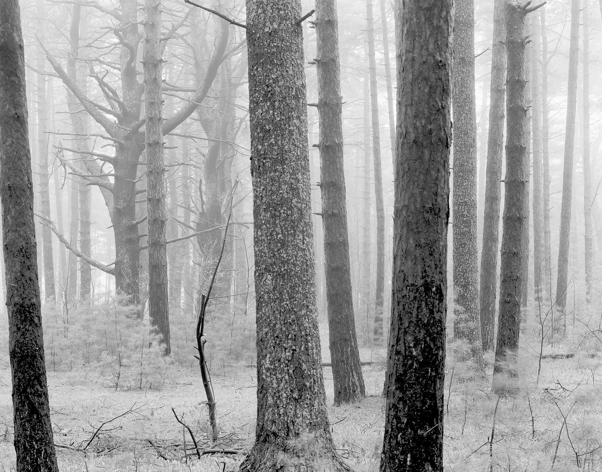 Pine Trees in Rain