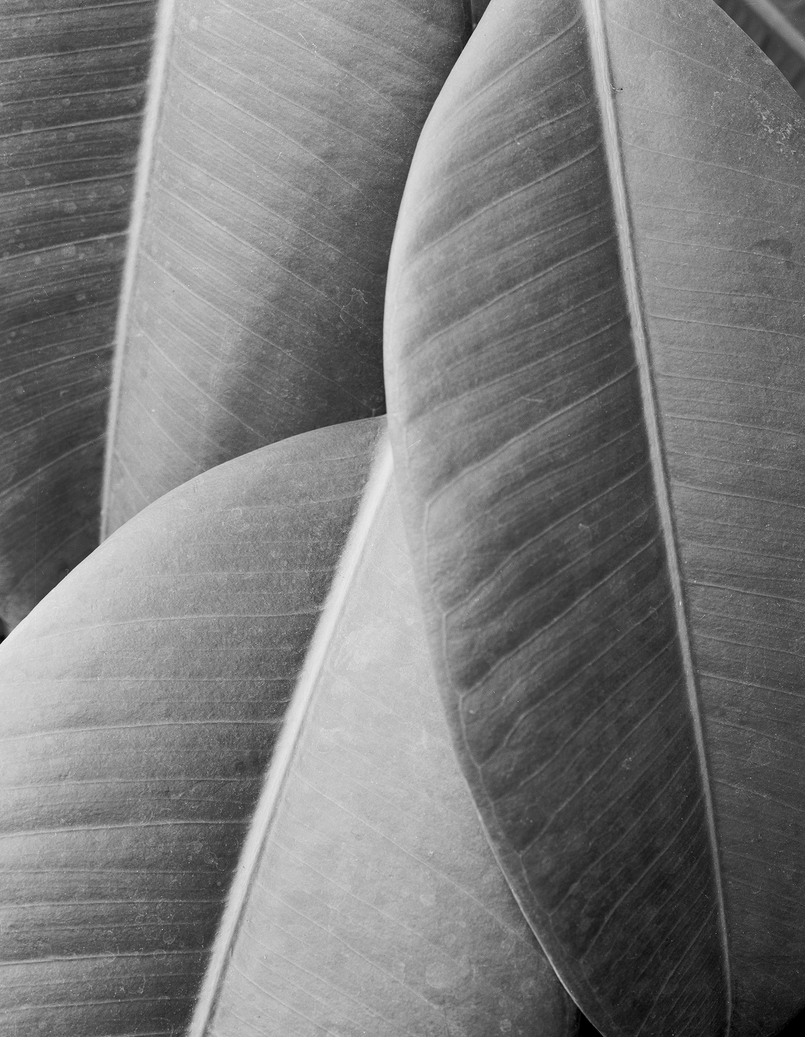 Rubber Tree Leaves